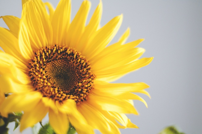 sunflower (single).jpg